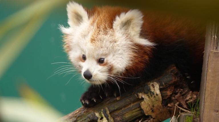 Red Panda (13)