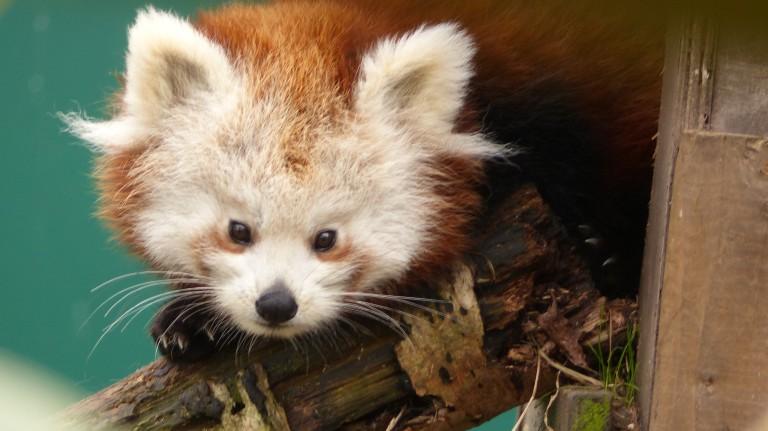 Red Panda (14)