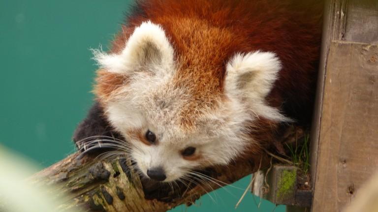 Red Panda (15)