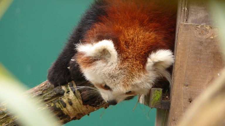 Red Panda (16)