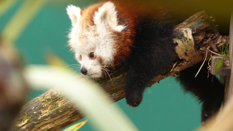 Red Panda (6)