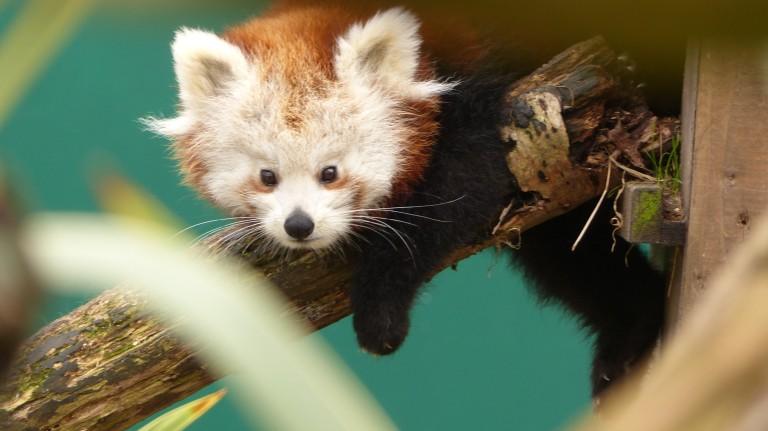 Red Panda (9)