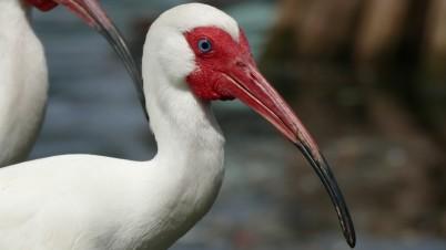Ibis (8)