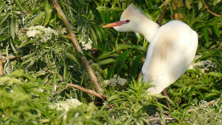 Egret - Cattle Egret