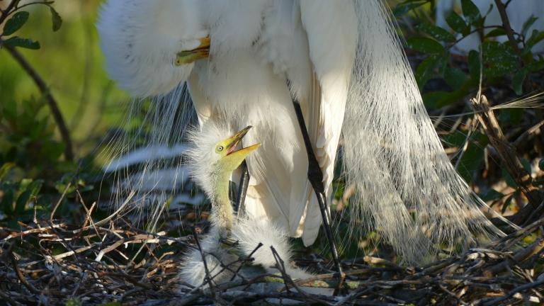 Egret - Great Egret (12)