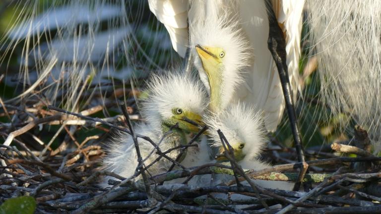 Egret - Great Egret (13)