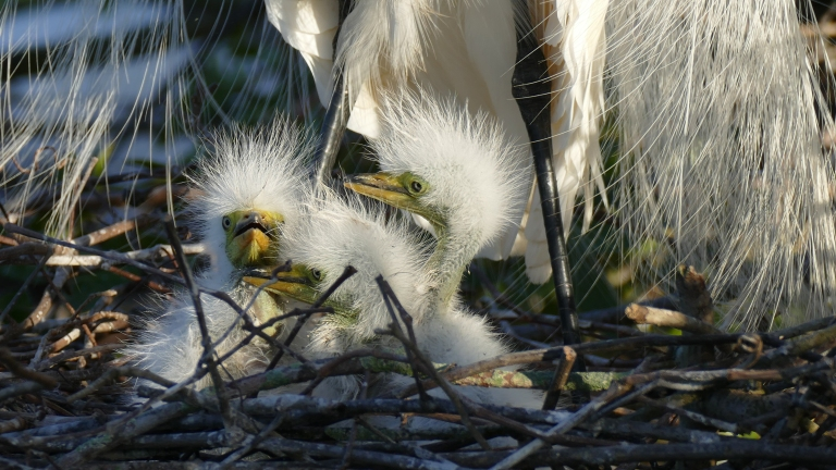 Egret - Great Egret (17)