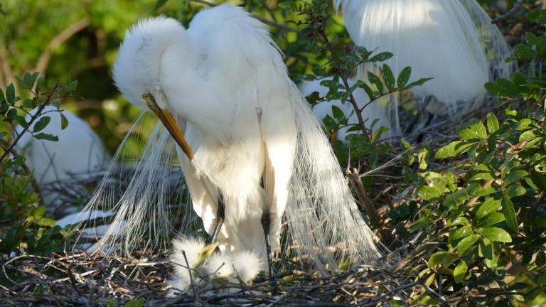 Egret - Great Egret (2)