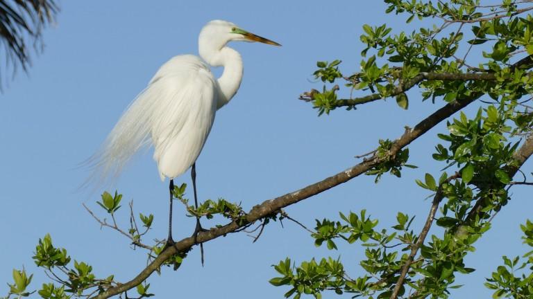 Egret - Great Egret (21)