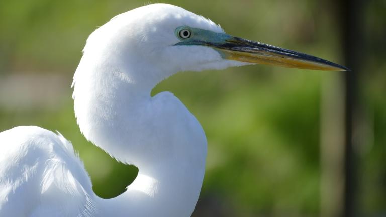 Egret - Great Egret (28)