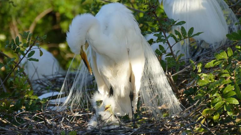 Egret - Great Egret (3)