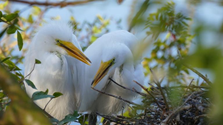 Egret - Great Egret (32)