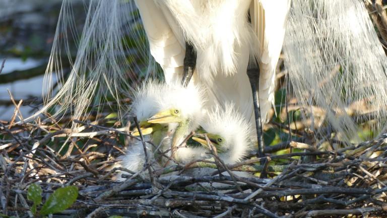 Egret - Great Egret (4)