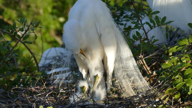 Egret - Great Egret (5)