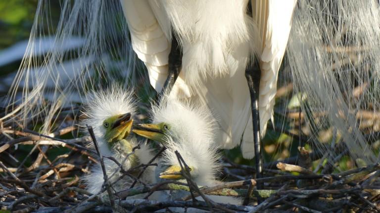 Egret - Great Egret (8)
