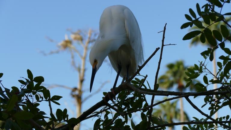 Egret - Snowy Egret (10)