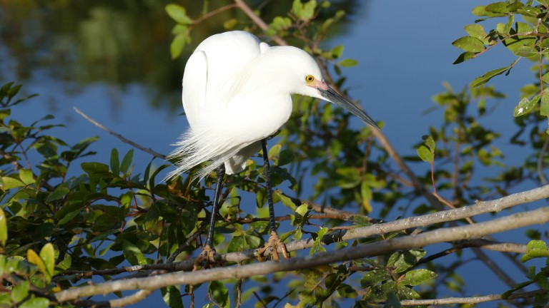 Egret - Snowy Egret (15)