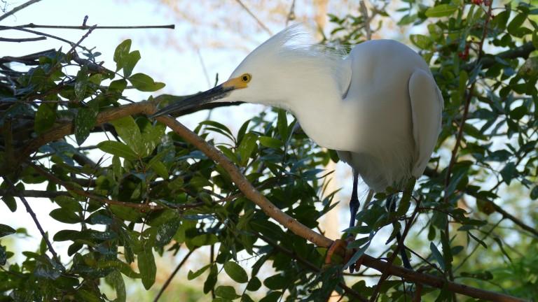 Egret - Snowy Egret (16)