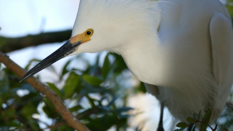 Egret - Snowy Egret (18)