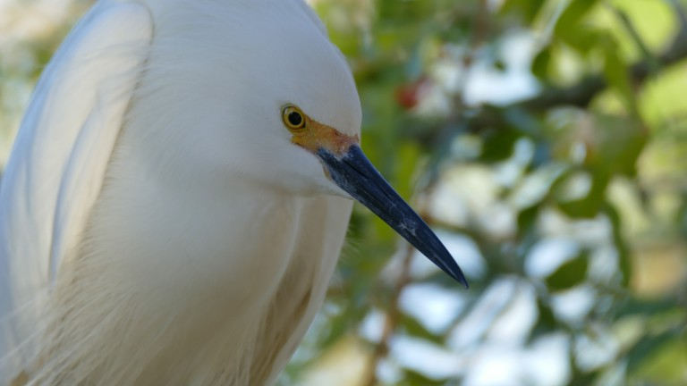 Egret - Snowy Egret (20)