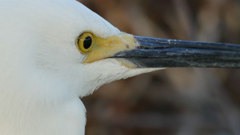 Egret - Snowy Egret (3)