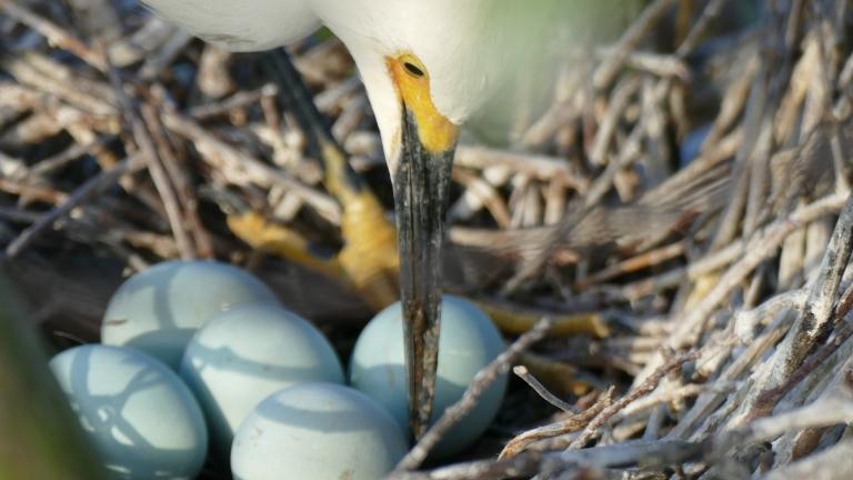 Egret - Snowy Egret (5)