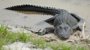 Gator (1)