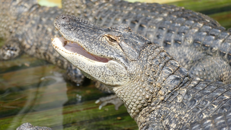 Gator (14)