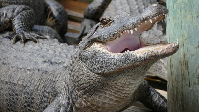 Gator (16)