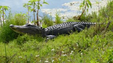 Gator (3)