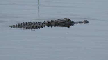 Gator (5)
