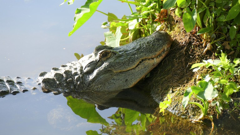 Gator (7)