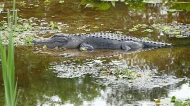 Gator (8)