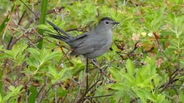 Grey Catbird (1)