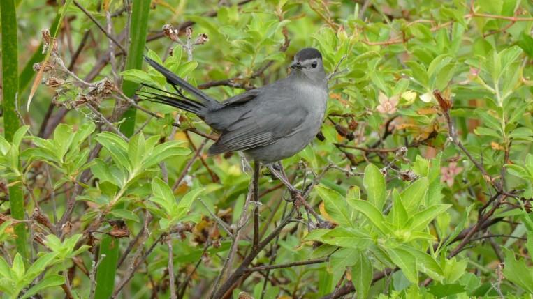 Grey Catbird (2)