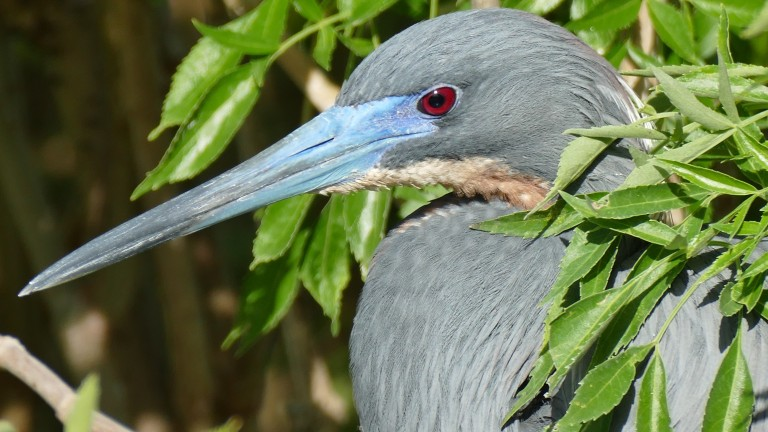 Heron - Little Blue Heron (1)
