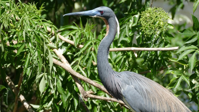 Heron - Little Blue Heron (10)