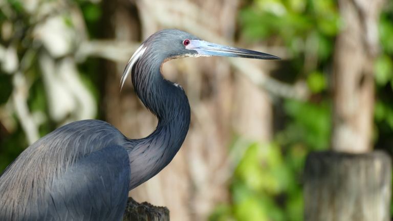 Heron - Little Blue Heron (7)