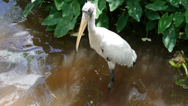 Wood Stork (7)
