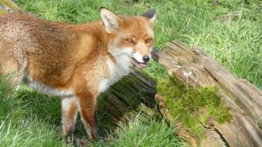 Fox (4)