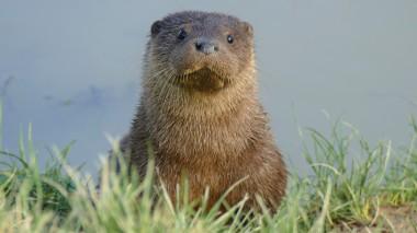 Otter (1)