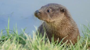 Otter (2)